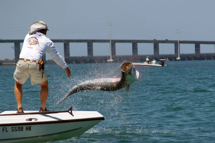 Tarpon, one of the fastest fish in the ocean, jumping near boat where an angler is standing