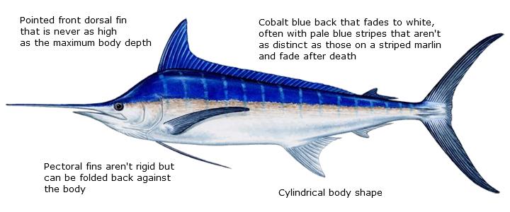 Blue Marlin diagram
