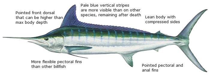 Striped marlin diagram