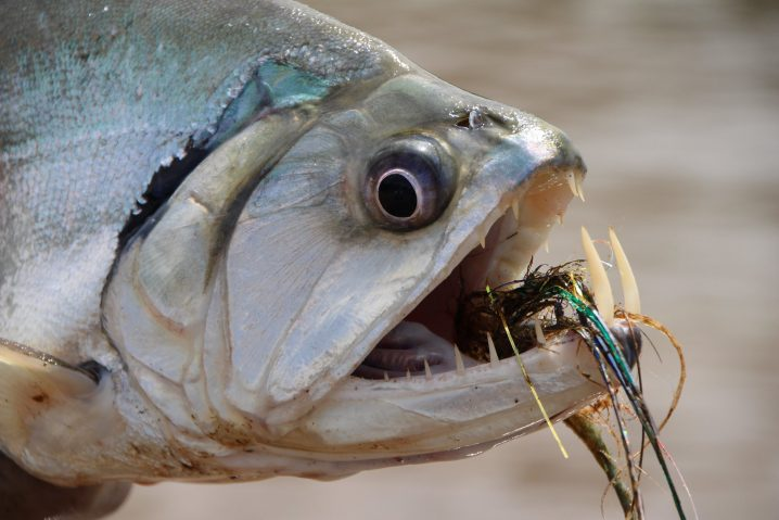 Close-up of the scary fish Payara showing long teeth