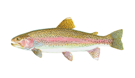 An illustration of a Rainbow Trout, also known as Steelhead