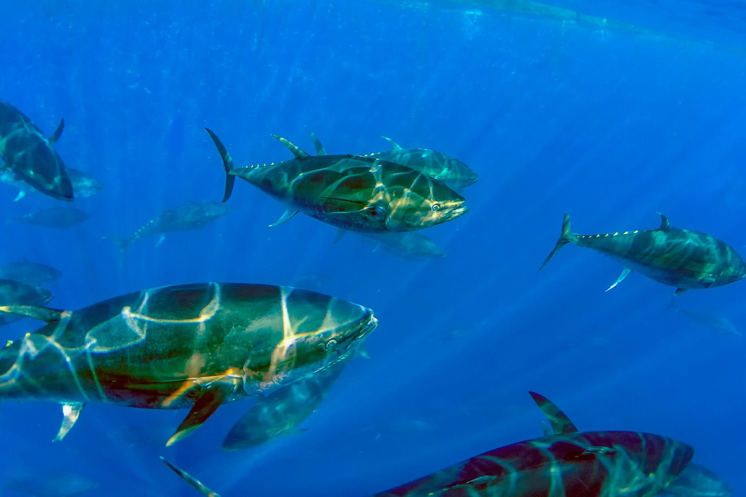 Several Atlantic Bluefin Tunas swimming in the open water