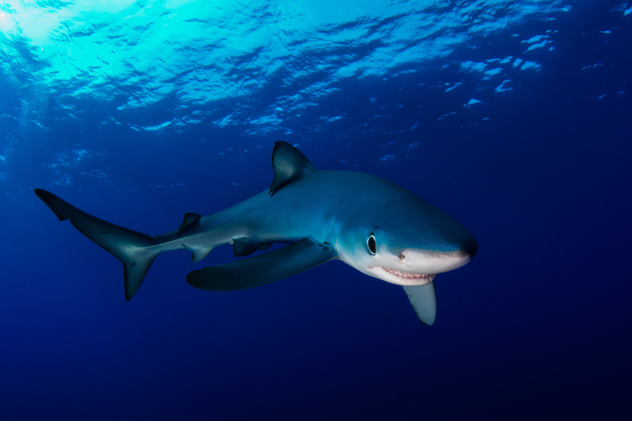 A close up of a blue shark swimming in shallow water towards the camera