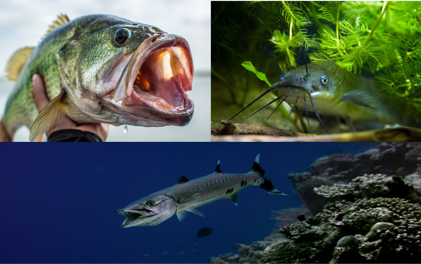 an image showing largemouth bass, a catfish, and a barracuda. The three fish represent the three different types of fish mouths - superior, inferior, terminal