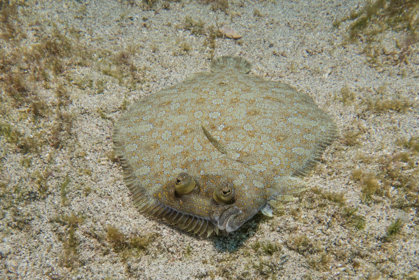 a flounder on the ocean floor