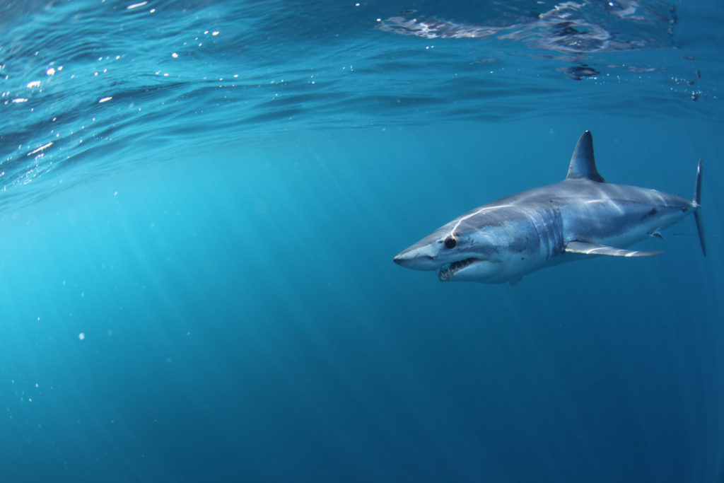A mako shark swimming in shallow water around the NSW coast