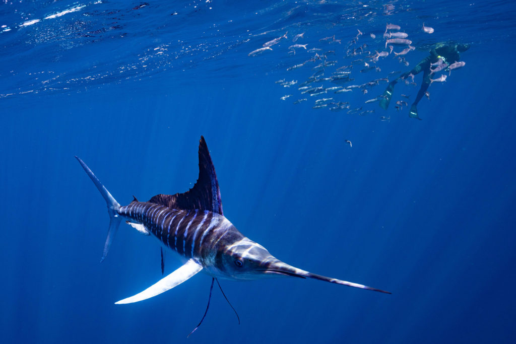 A beautiful Striped Marlin swimming in shallow water