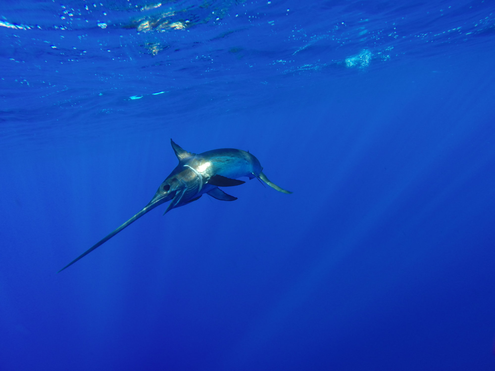 A magnificient Swordfish, one of the fastest fish in the ocean, swimming in shallow water