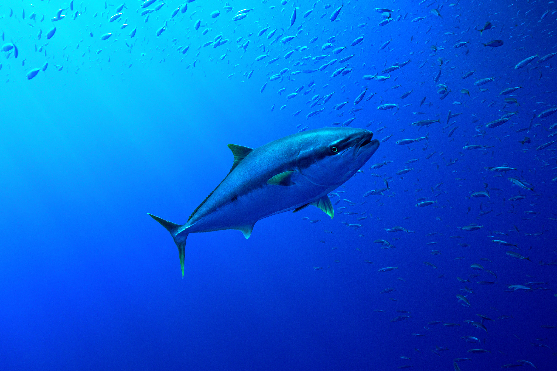 a tuna swimming along a school of smaller fish