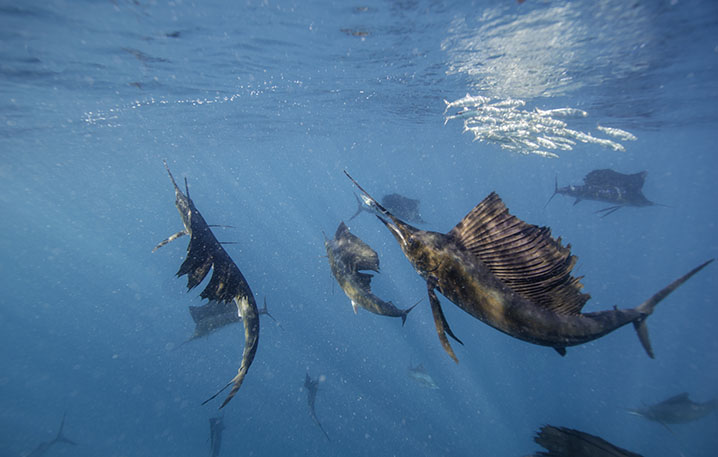 A group of Sailfish hunting together near the surface of the ocean.