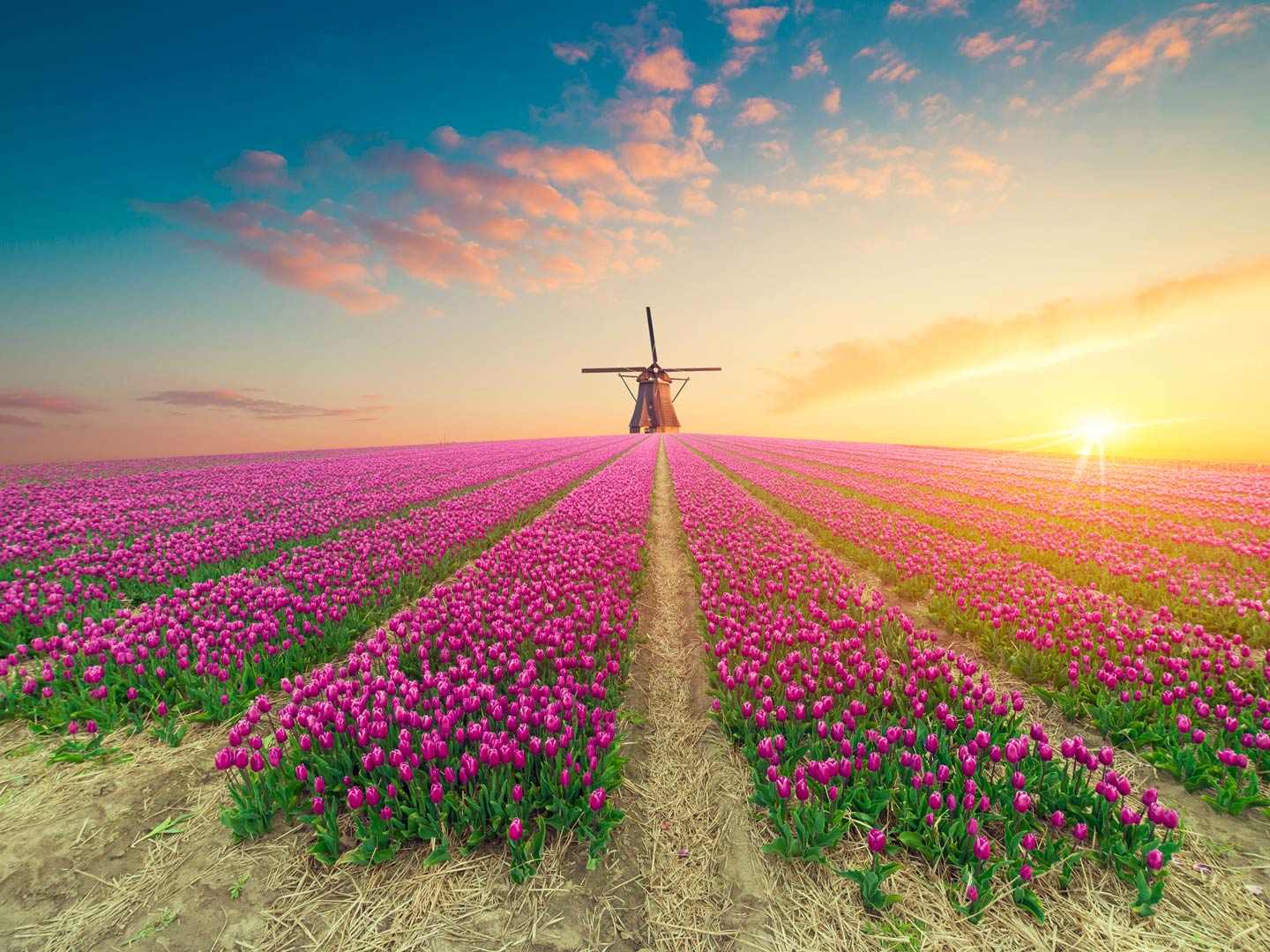 Landscape in the Netherlands, a view of a tulip field with a windmill