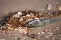 A dead fish half buried on a beach after being killed by red tide in Florida