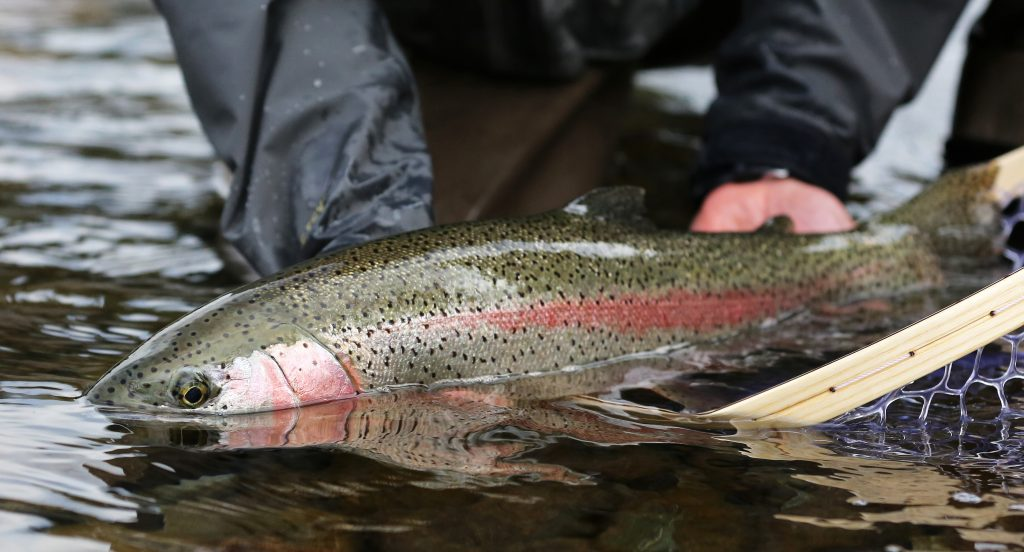 angler holding a big rainbow trout in water, fishing destinations in africa