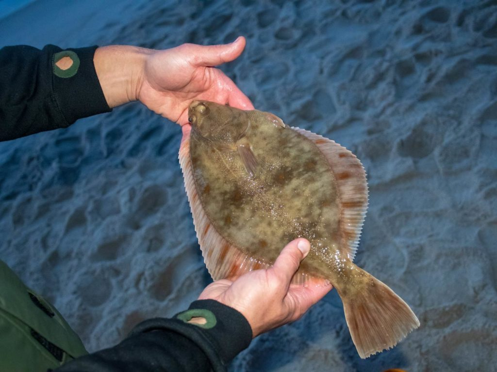 A European Flounder in the hands of a fisherman on the shore night fishing