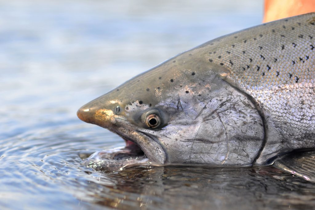 A shot of Chinook Salmon's head half in the water