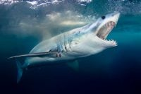 A Shortfin Mako Shark underwater with its mouth open
