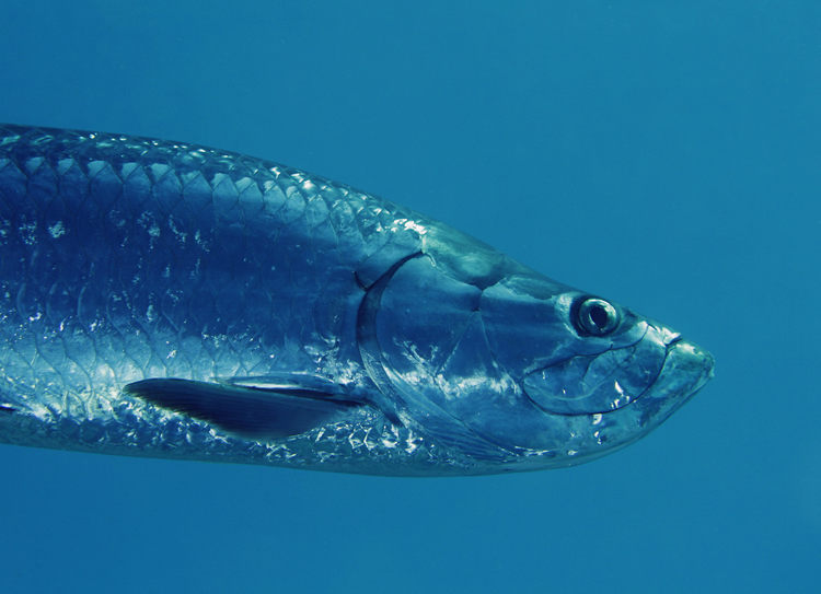 Tarpon fishing in Florida: The Silver King swimming in deep water
